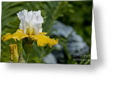 Iris Pictures 169 Greeting Card