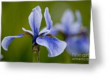 Iris Pictures 185 Greeting Card