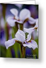 Iris Pictures 195 Greeting Card