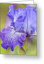 Iris Purple Pepper Greeting Card