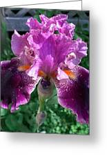 Iris Greeting Card