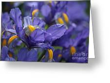 Iris With Raindrops Greeting Card