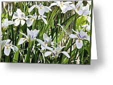 Irises Dancing In The Sun Painted Greeting Card