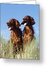 Irish Red Setter Dog Greeting Card
