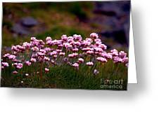 Irish Sea Pinks Greeting Card