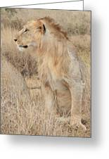 Isolated Lion Staring Greeting Card