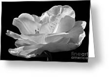 Isolated White Tulip Greeting Card