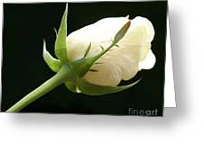 Ivory Rose Bud Greeting Card