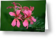 Ivy Geraniums Greeting Card