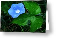Wild Ivyleaf Morning Glory Greeting Card