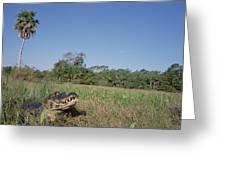 Jacare Caiman In Marshland Pantanal Greeting Card