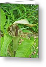 Jack In The Pulpit - Arisaema Triphyllum Greeting Card