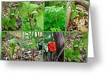 Jack-in-the-pulpit Wildflower    Arisaema Triphyllum Greeting Card