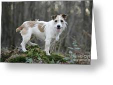 Jack Russell Dog In Autumn Setting Greeting Card