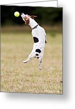 Jack Russell Jumping For Ball Greeting Card