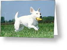 Jack Russell Terrier Dog Greeting Card