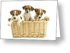 Jack Russell Terrier Puppies Greeting Card
