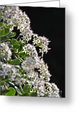 Jade Plant Flowers Greeting Card