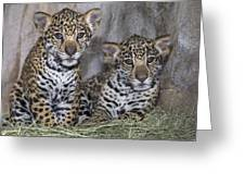 Jaguar Cubs Greeting Card