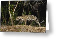 Jaguar Cuiaba River Brazil Greeting Card