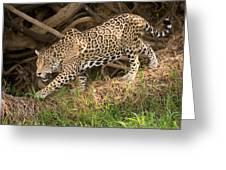 Jaguar Panthera Onca Foraging Greeting Card