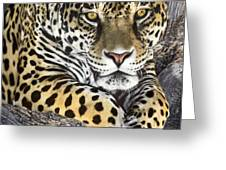 Jaguar Portrait Wildlife Rescue Greeting Card by Dave Welling