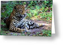 Jaguar Resting From Play Greeting Card