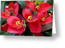 Jamaican Poinsettia Greeting Card