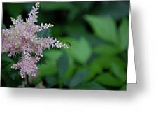 Jammer Astilbe 001 Greeting Card