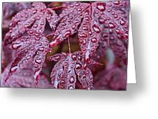 Japanese Acer Palmatum Atropurpurea Shrub Greeting Card