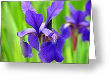Japanese Iris By Kim Mobley Greeting Card