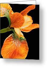 Japanese Iris Orange Black Greeting Card
