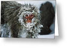 Japanese Macaque Covered In Snow Japan Greeting Card
