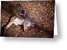 Japanese Macaque Greeting Card