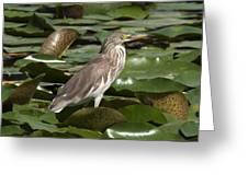 Javan Pond Heron Dthn0071 Greeting Card