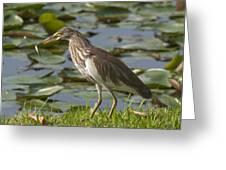 Javan Pond Heron With A Fish Dthn0069 Greeting Card