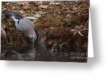 Jay Drinking Water Greeting Card