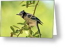 Jay In Nature Greeting Card