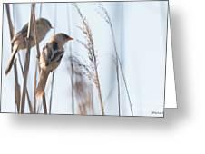 jn01 Bearded Reedling Juvenile Greeting Card