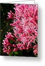 Joe Pye Weed Greeting Card