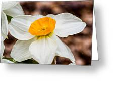 Jonquil 1 Greeting Card
