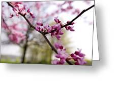 Judas Tree Blossom Greeting Card by John Holloway
