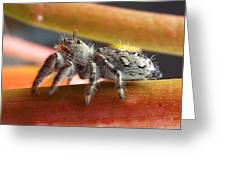 Jumper Spider Greeting Card