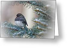 Junco In Pine Greeting Card