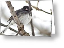 Junco Posing Greeting Card