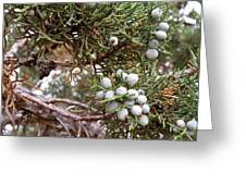 Juniper Berries Ripe Greeting Card