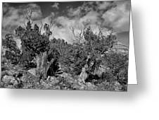 Juniper Trees At The Ghost Ranch Black And White Greeting Card