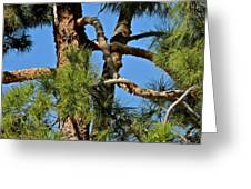 Just A Tangle Of Pine Tree Branches Greeting Card
