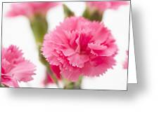 Just Carnations Greeting Card