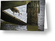 Juvenile Black Crowned Night Heron Greeting Card